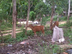 inilah sejumlah potret  saat sapi menguliti dan menggunyah kulit pohon jati putih/Foto-foto: Mahaji Noesa